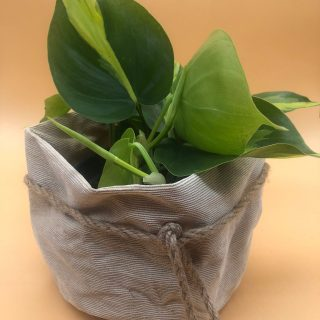 Pack Philodendron macetero