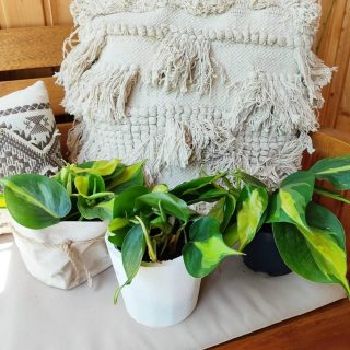 Philodendrons brasil con maceteros